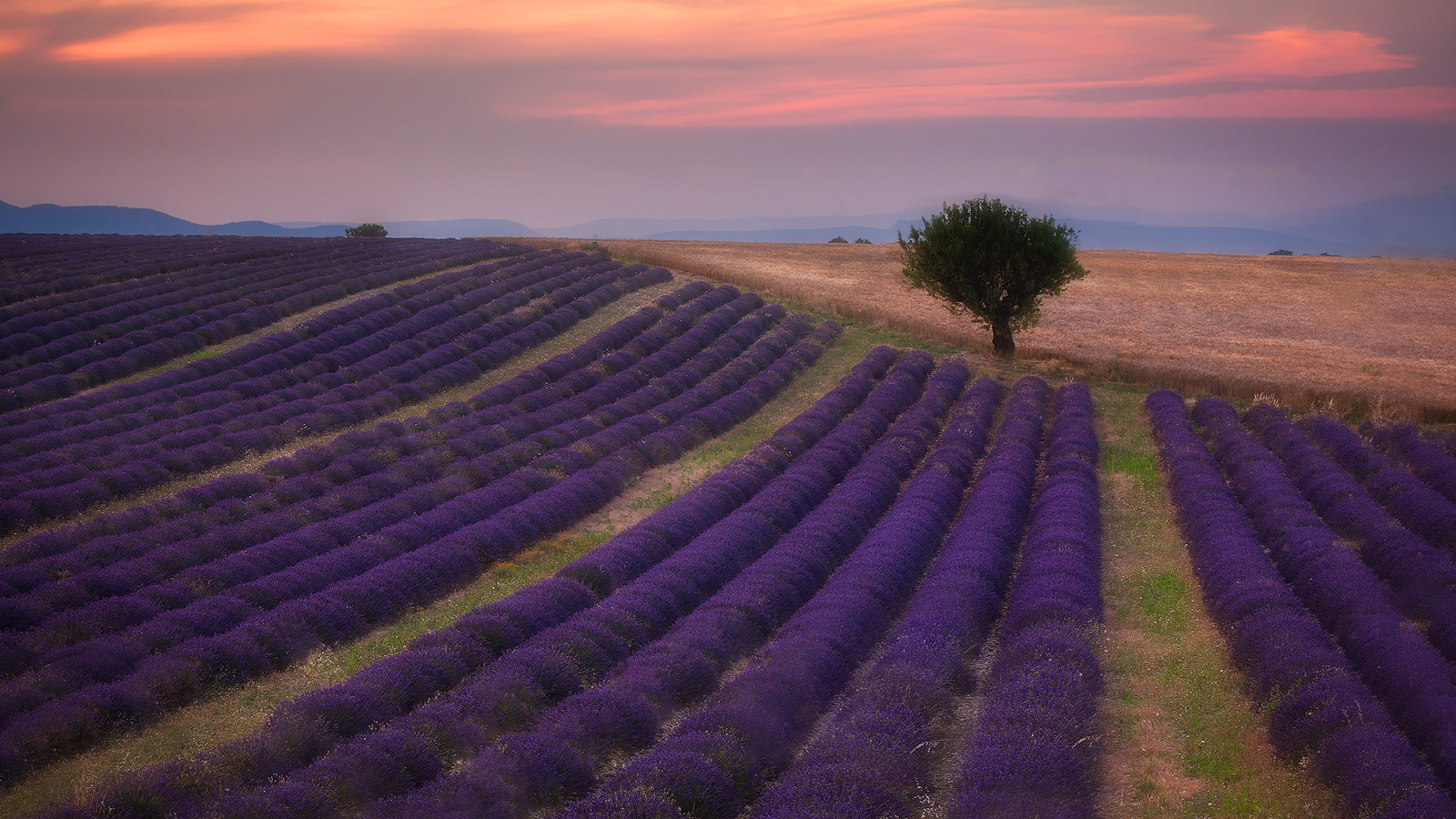 Beautiful lavender field leads to a tree near Valensole, France