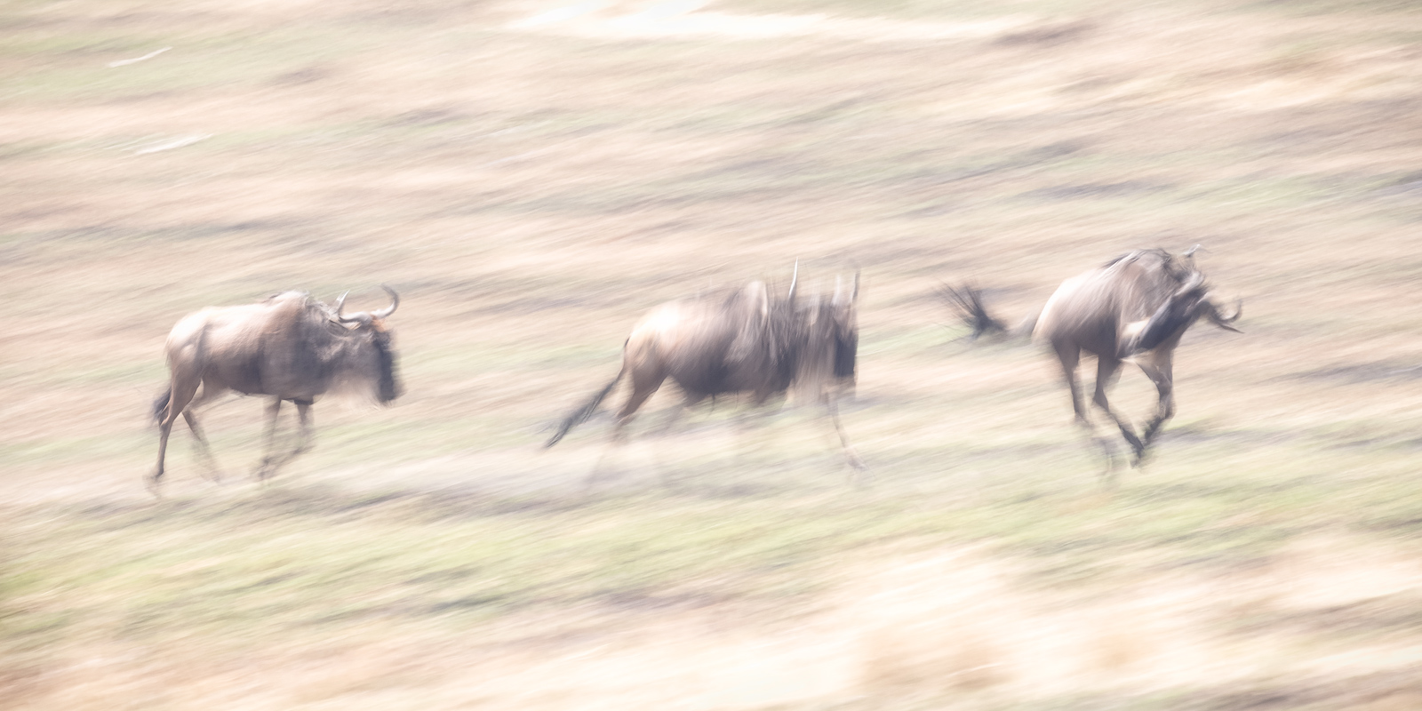 Wildebeests running in Kenya's Masai Mara during the Great Migration as they approach the Mara River crossing.