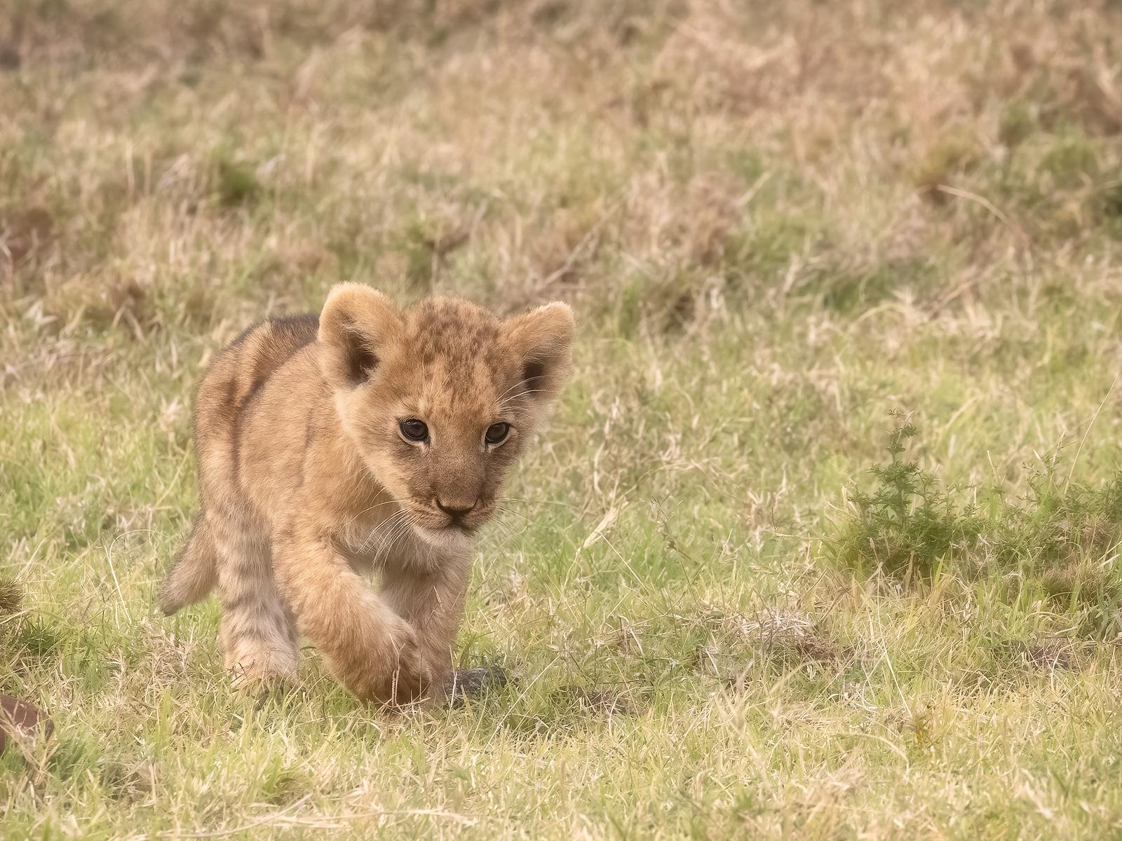 An adorable 3-week old lion cub exploring the plains of the Masai Mara.